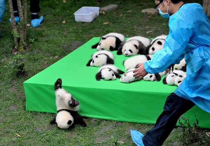 panda-con-problemas