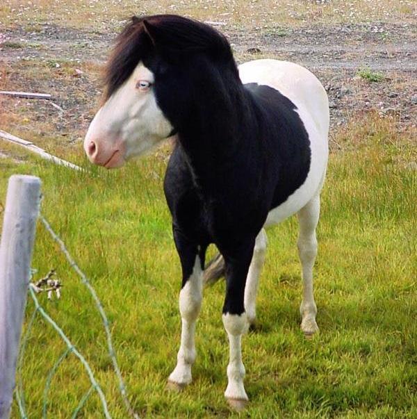 caballo-emo