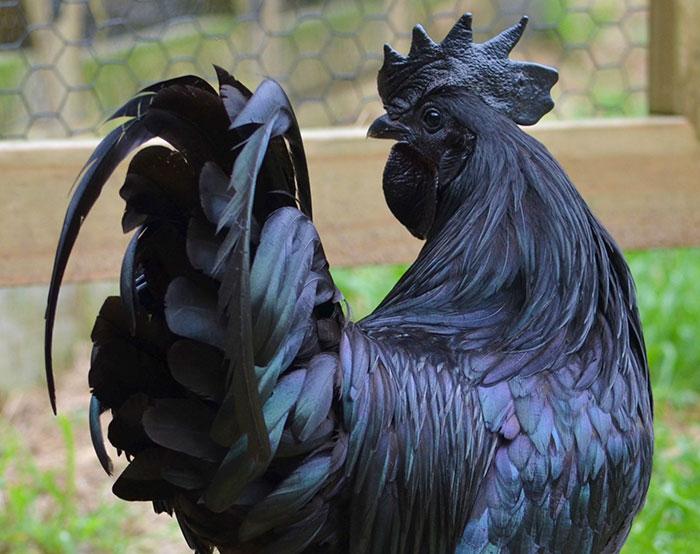 pollo-gotico
