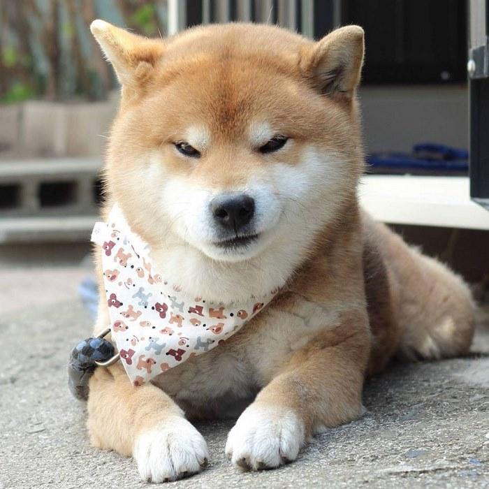 Shiba-Inu-expresivo