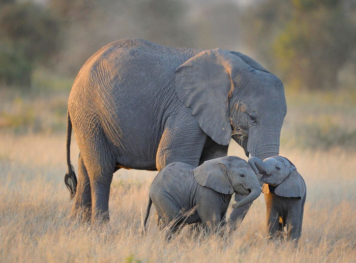 bebes-elefante