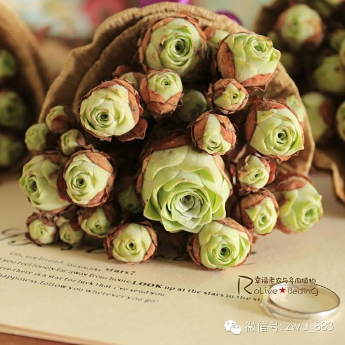 suculentas-rosas