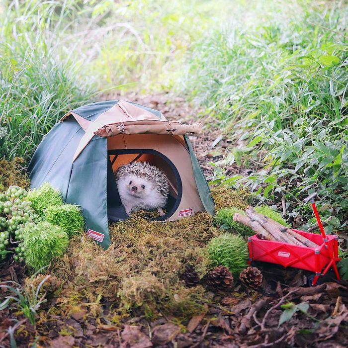 erizo-acampada