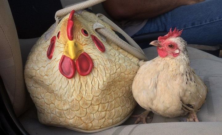 gallina-temiendose-lo-peor