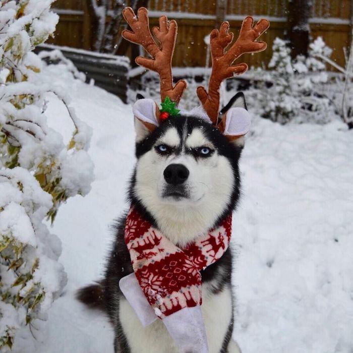 husky-Navidad