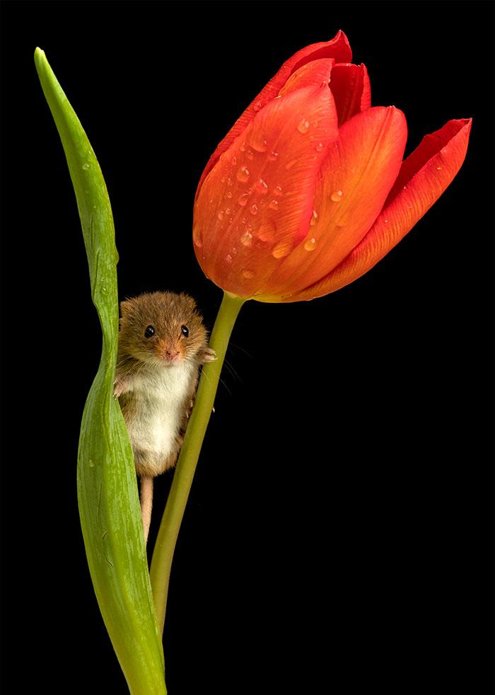 raton-espiguero