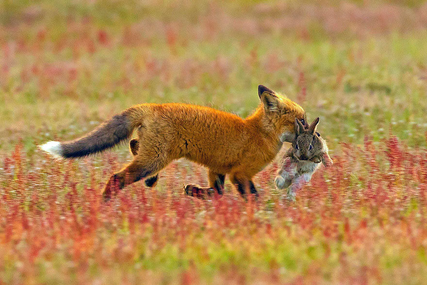 aguila-zorro-conejo