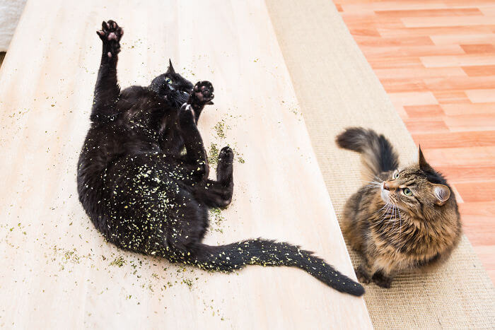 gato-nebeda