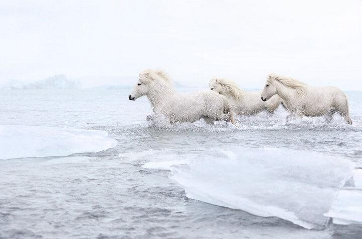 aballos-islandeses