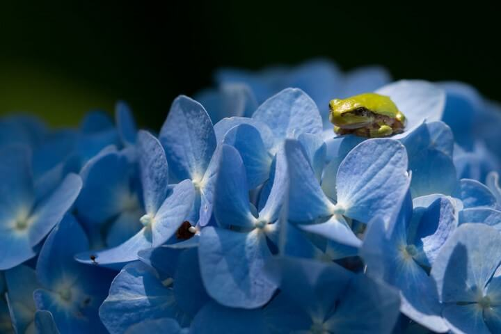 ranas-hortensias