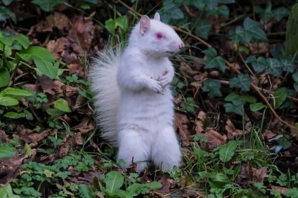 ardilla-albina