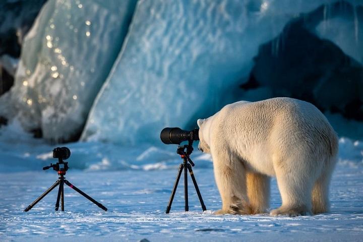oso-polar-fotografo