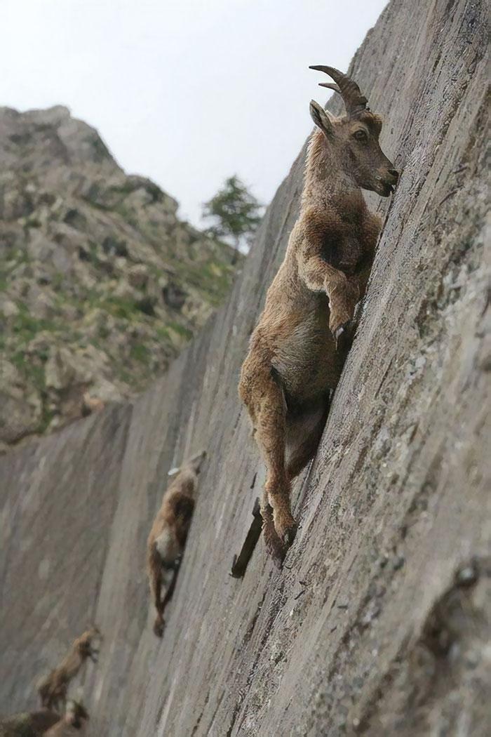 cabras-desafiando-la-gravedad