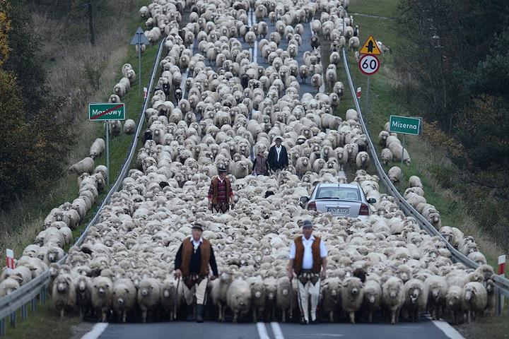 atasco-ovejas