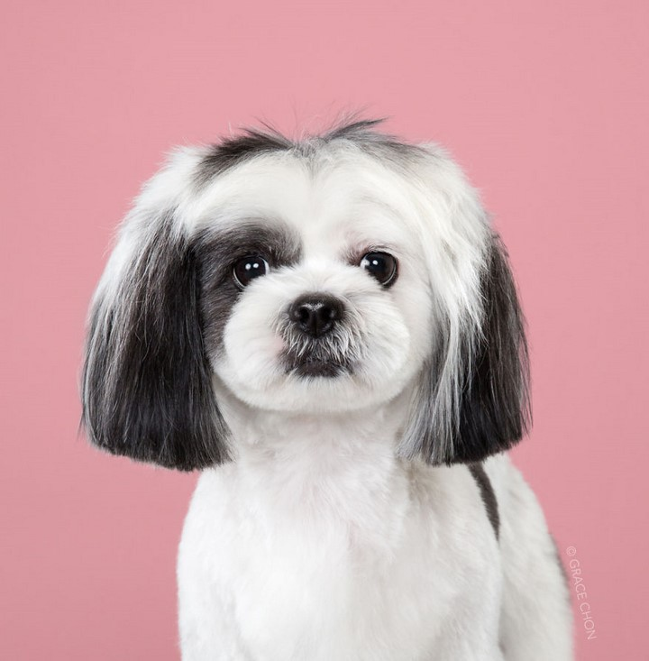 perro-corte-de-pelo-japones