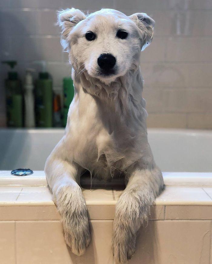 perro-que-parece-un-oso-polar