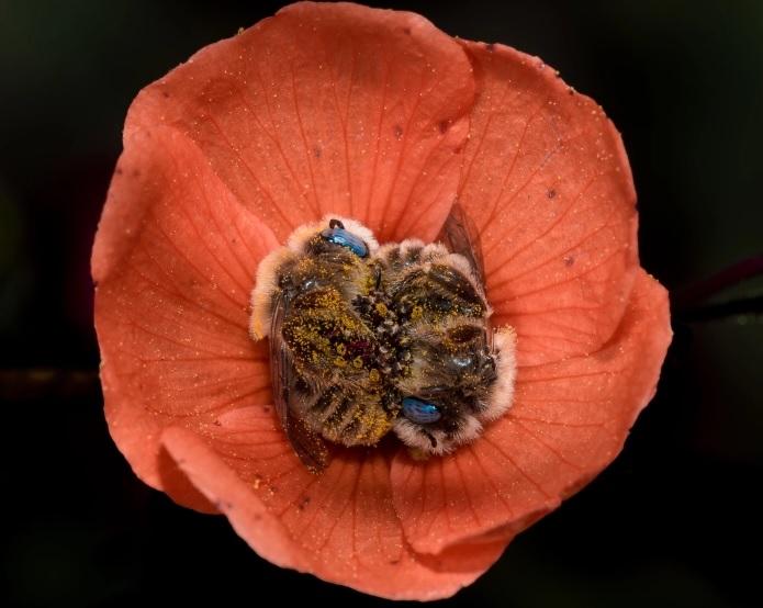 abejas-durmiendo-flor