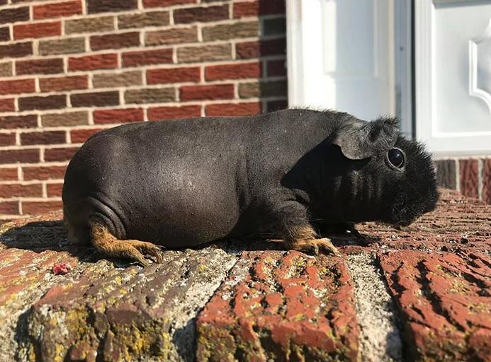 cerdo-de-Guinea