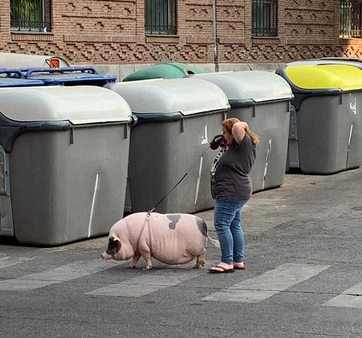 paseando-al-cerdo