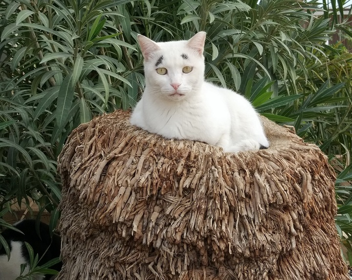 gato-con-cejas